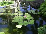 Домашні рослини Вуличні рослини, ціна 300 Грн., Фото