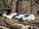 Тваринництво Кролівництво, ціна 200 Грн., Фото