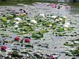 Домашні рослини Садові рослини, ціна 300 Грн., Фото