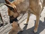 Собаки, щенята Бельгійська вівчарка (Малінуа), ціна 3000 Грн., Фото