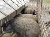 Животноводство,  Сельхоз животные Свиньи, цена 45 Грн., Фото