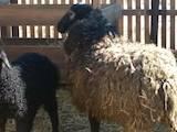 Тваринництво,  Сільгосп тварини Барани, вівці, ціна 50 Грн., Фото
