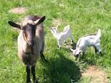 Животноводство,  Сельхоз животные Козы, цена 2000 Грн., Фото