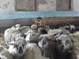 Тваринництво,  Сільгосп тварини Барани, вівці, ціна 1300 Грн., Фото