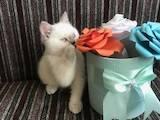 Кішки, кошенята Британська короткошерста, ціна 7000 Грн., Фото