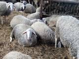 Животноводство,  Сельхоз животные Бараны, овцы, цена 10 Грн., Фото