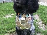 Собаки, щенята Російський спаніель, ціна 10 Грн., Фото