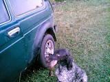Собаки, щенята Німецька гладкошерста лягава, ціна 1500 Грн., Фото