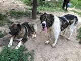 Собаки, щенята Кавказька вівчарка, ціна 25000 Грн., Фото