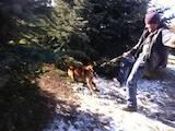Собаки, щенки Бельгийская овчарка (Малинуа), цена 5000 Грн., Фото