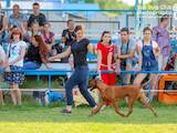 Собаки, щенята Родезійського ріджбек, ціна 27000 Грн., Фото