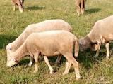 Животноводство,  Сельхоз животные Бараны, овцы, цена 40 Грн., Фото