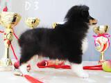 Собаки, щенята Довгошерстий коллі, ціна 8000 Грн., Фото