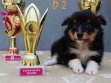 Собаки, щенята Шелті, ціна 8000 Грн., Фото
