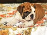 Собаки, щенята Англійський бульдог, ціна 20800 Грн., Фото