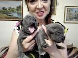 Собаки, щенята Кане Корсо, ціна 9000 Грн., Фото