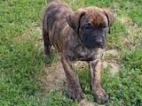 Собаки, щенки Канарский дог, цена 28000 Грн., Фото