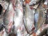 Продовольство Риба і рибопродукти, ціна 27 Грн./кг., Фото