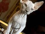 Кішки, кошенята Канадський сфінкс, ціна 2000 Грн., Фото