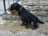 Собаки, щенята Ягдтер'єр, ціна 6500 Грн., Фото