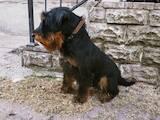 Собаки, щенки Ягдтерьер, цена 6500 Грн., Фото