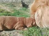 Собаки, щенята Американський коккер, ціна 1700 Грн., Фото