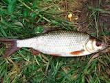 Продовольство Риба і рибопродукти, ціна 20 Грн./кг., Фото
