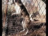 Собаки, щенята Західно-Сибірська лайка, ціна 14000 Грн., Фото