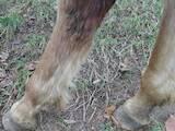 Тваринництво,  Сільгосп тварини Коні, осли, ін., ціна 10500 Грн., Фото