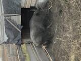 Тваринництво,  Сільгосп тварини Свині, ціна 10000 Грн., Фото