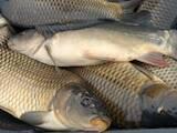 Рибне господарство Риба жива, мальки, ціна 30 Грн., Фото