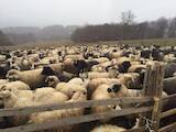 Тваринництво,  Сільгосп тварини Барани, вівці, ціна 35 Грн., Фото
