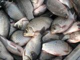 Рибне господарство Риба жива, мальки, Фото