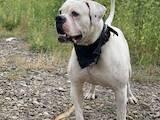 Собаки, щенята Американський бульдог, ціна 4000 Грн., Фото
