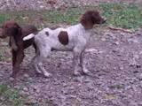 Собаки, щенята Німецька гладкошерста лягава, ціна 100 Грн., Фото