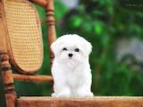 Собаки, щенята Мальтійська болонка, ціна 90000 Грн., Фото