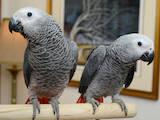 Папуги й птахи Папуги, ціна 4500 Грн., Фото