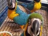 Папуги й птахи Папуги, ціна 3750 Грн., Фото