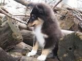 Собаки, щенки Длинношерстный колли, цена 8000 Грн., Фото
