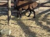 Тваринництво,  Сільгосп тварини Барани, вівці, ціна 3000 Грн., Фото