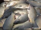 Рибне господарство Риба жива, мальки, ціна 40 Грн., Фото